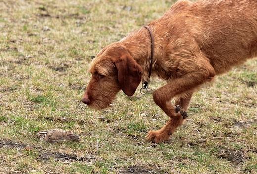 Stock Photo: 1436R-428047 quail and hunter dog