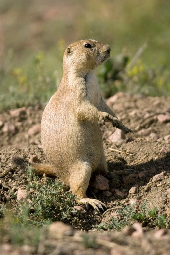 Black-Tailed Prairie Dog - Cheyenne Mountain State Park, Colorado Springs, Colorado USA : Stock Photo