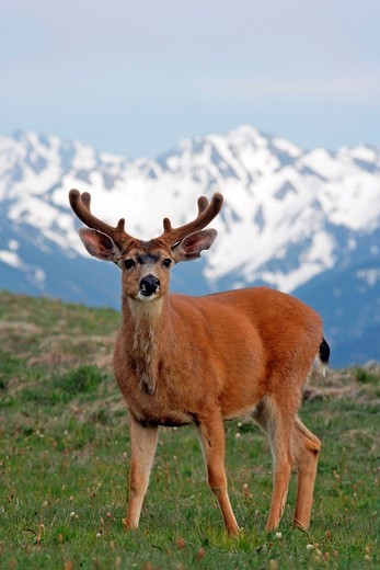 Black-tailed Deer - Hurricane Ridge Trail - Olympic National Park : Stock Photo
