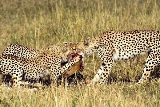 Cheetah family with kill - Masai Mara National Reserve, Kenya : Stock Photo