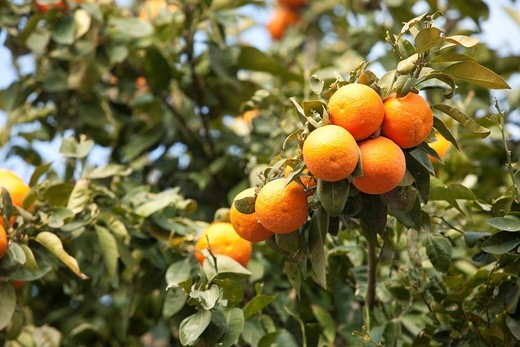 Israel, Sharon district, Citrus Grove, ripe oranges on the tree before picking : Stock Photo