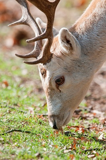 Stock Photo: 1436R-433988 Head and Antlers of a Male Fallow Deer buck in parkland, England, UK