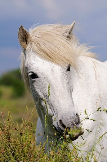 Portrait of Camargue horse with wavy mane, Camargue, Frankreich : Stock Photo