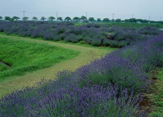 Stock Photo: 1436R-434372 Lavender Bank, Kuki, Saitama, Japan