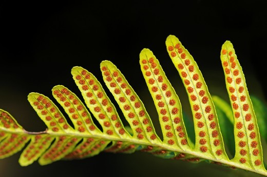 Sori on leaf underside of common polypody, Polypodium vulgare : Stock Photo