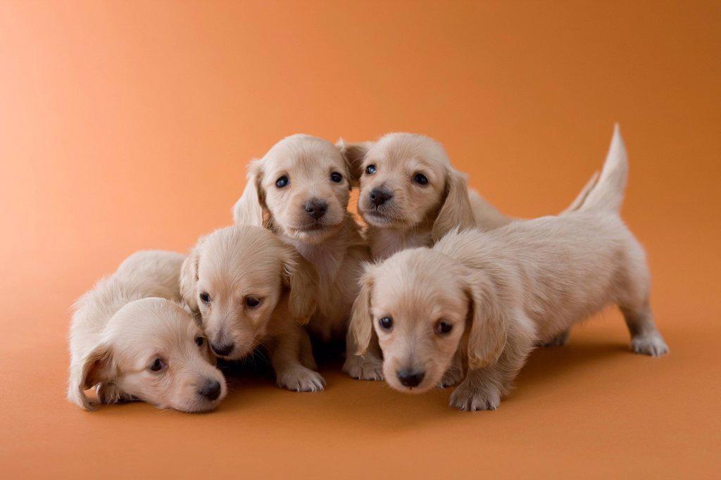Five Dachshund Puppies : Stock Photo