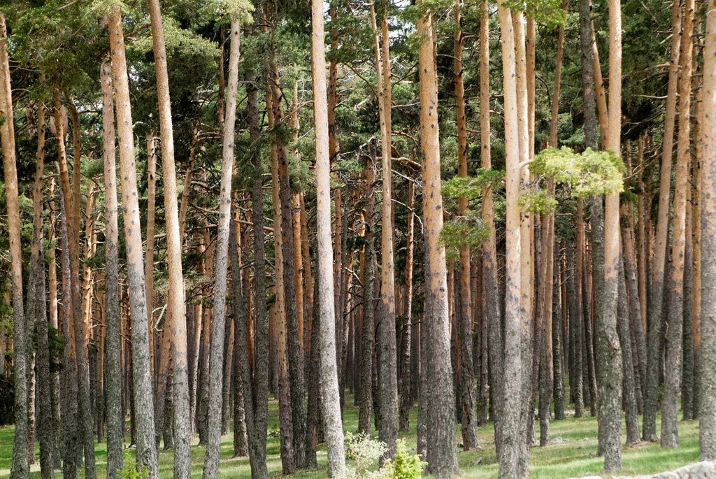 Forest of common pine in Orea, Guadalajara, Spain : Stock Photo