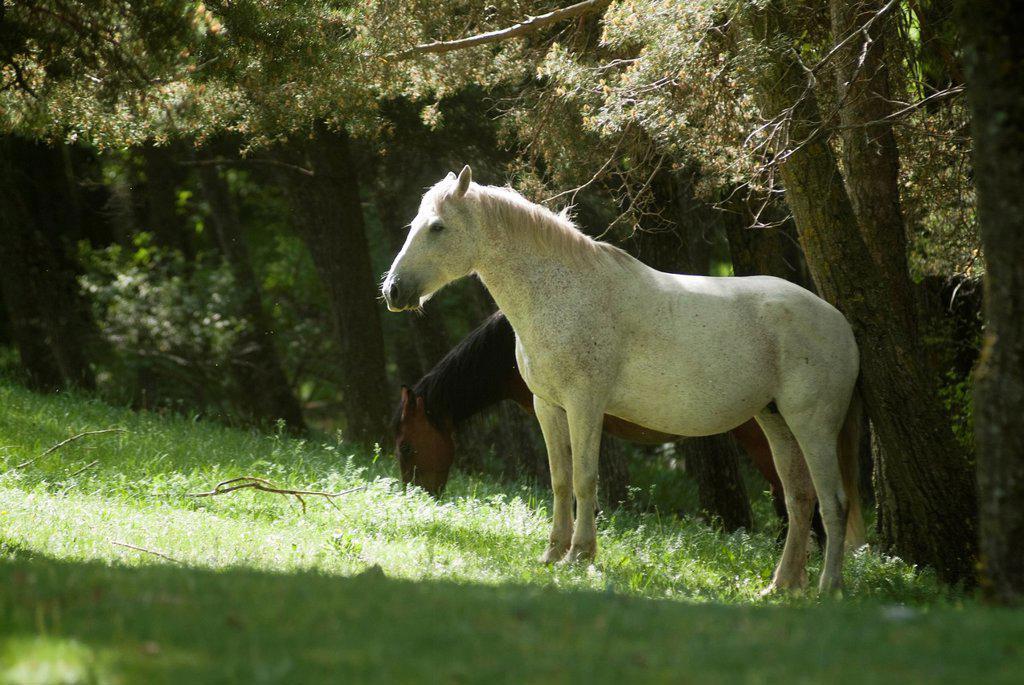 Stock Photo: 1436R-437862 horses grazing in the meadow, Guadalaviar, Teruel, Spain