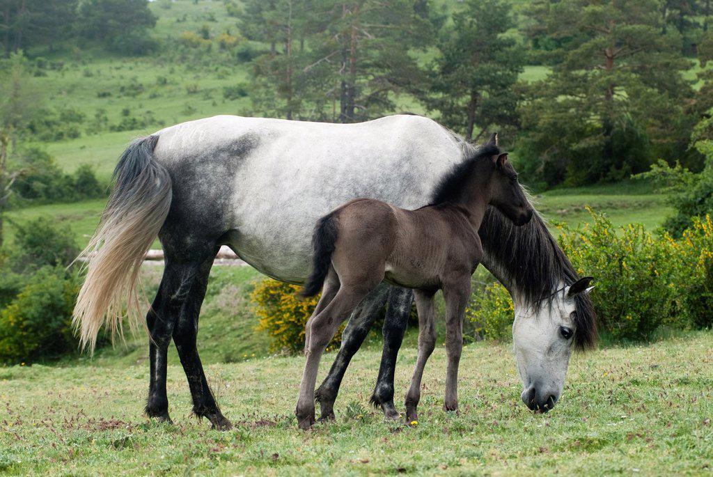 Stock Photo: 1436R-437867 mare and foal grazing in the meadow, Guadalaviar, Teruel, Spain