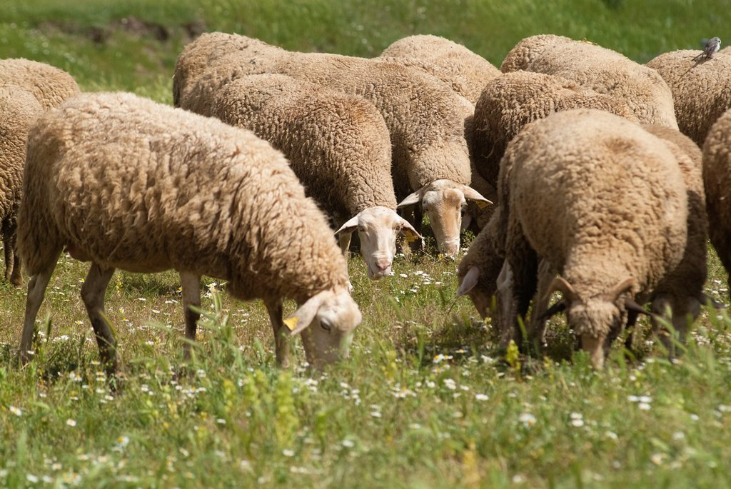Stock Photo: 1436R-437871 sheep grazing in the meadow, Guadalaviar, Teruel, Spain
