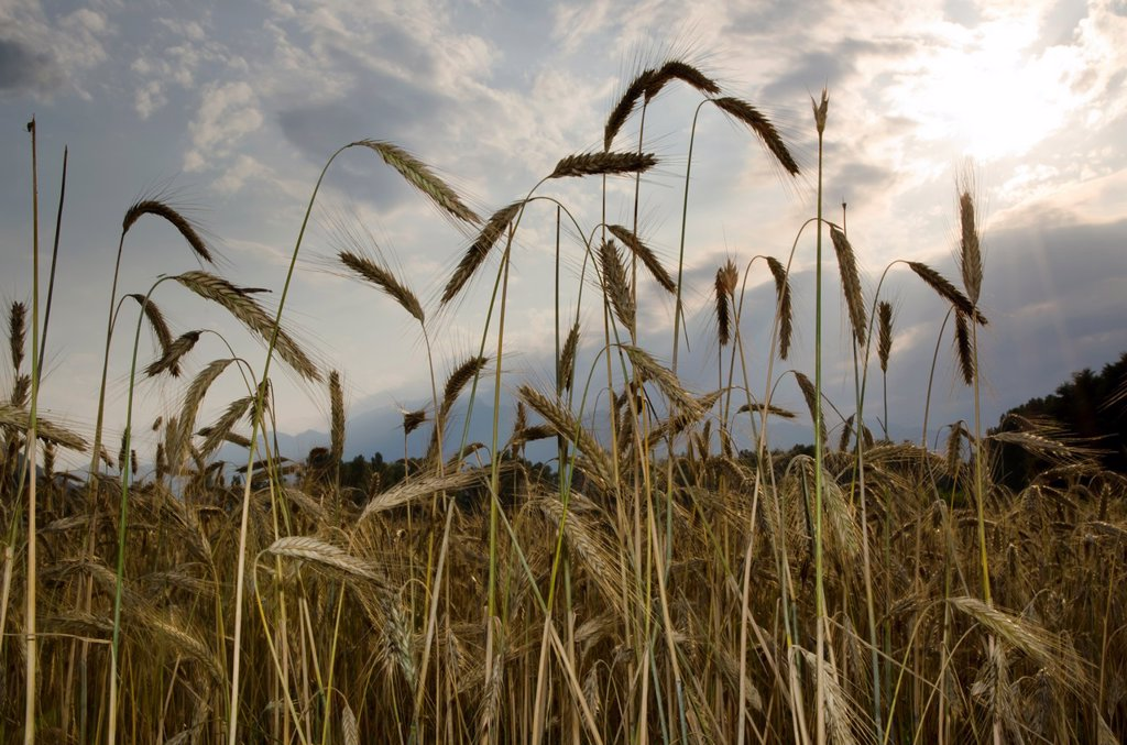 Stock Photo: 1436R-439484 Wheat field with blue sky and clouds