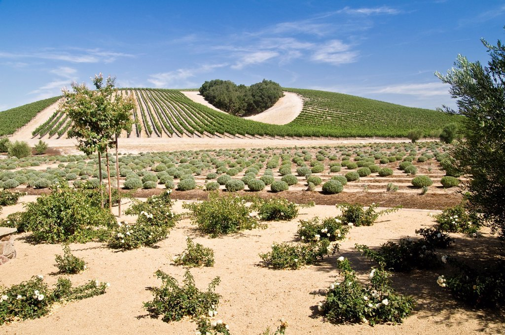 Stock Photo: 1436R-443054 A copse of trees forms a heart shape on the hills of scenic California vineyard