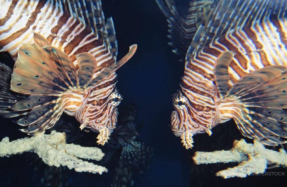 Lionfish : Stock Photo