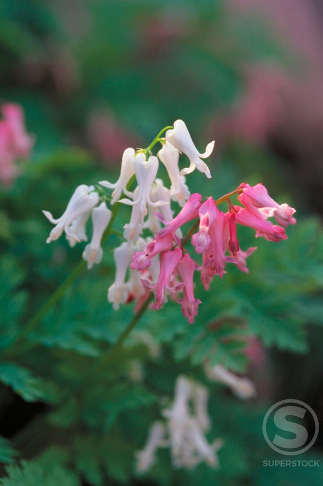 Bleeding Heart : Stock Photo
