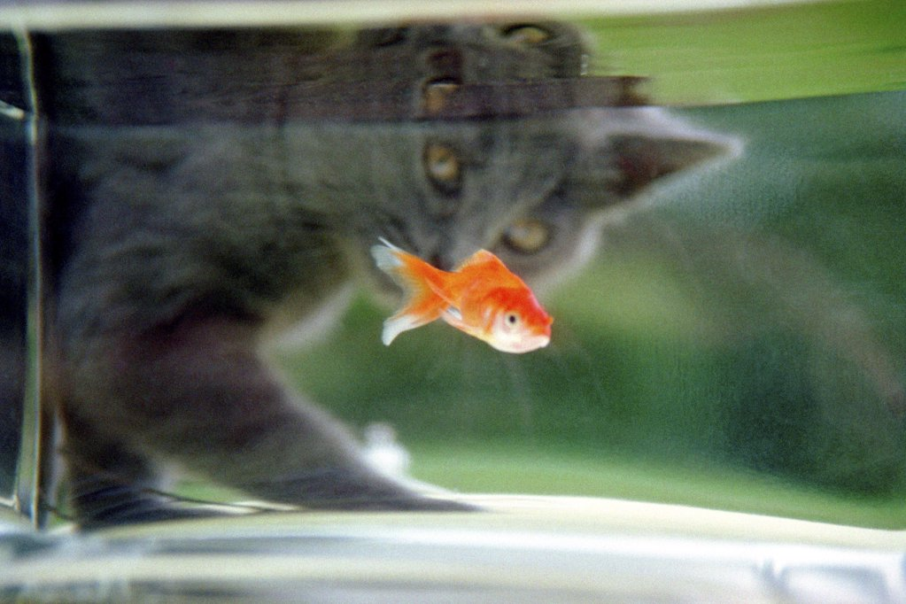 Stock Photo: 1439R-010145 Cat watching a goldfish