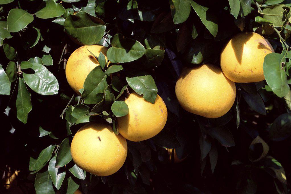 Grapefruit on tree : Stock Photo