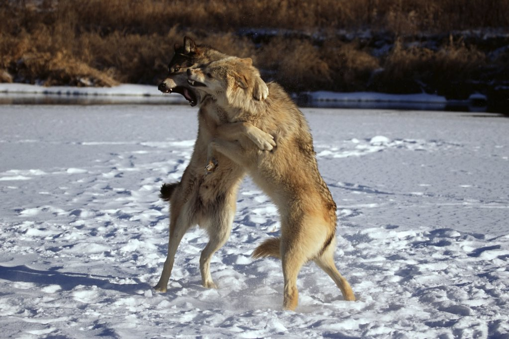Wolves fighting : Stock Photo