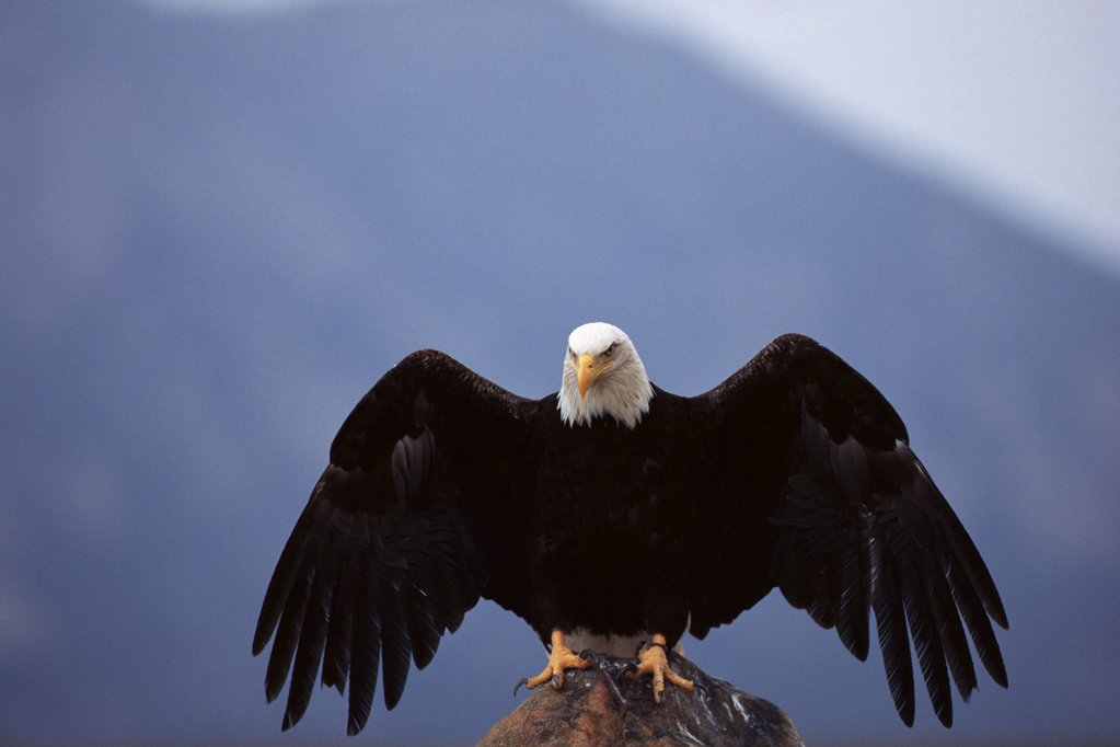 Bald eagle perched on rock : Stock Photo