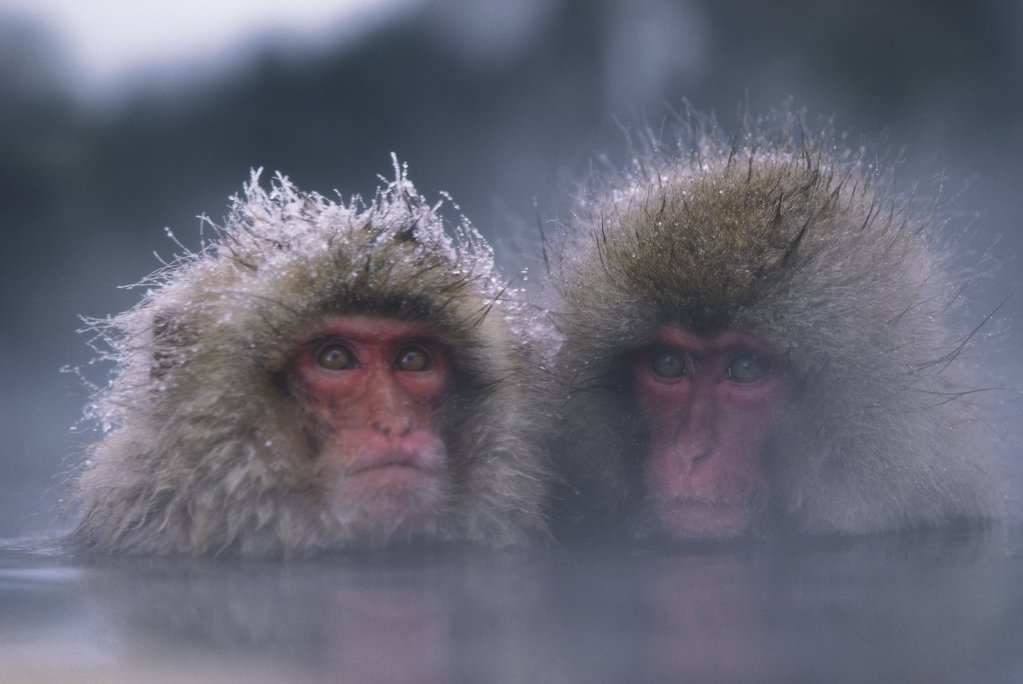 Stock Photo: 1439R-03350 Two snow monkeys in water