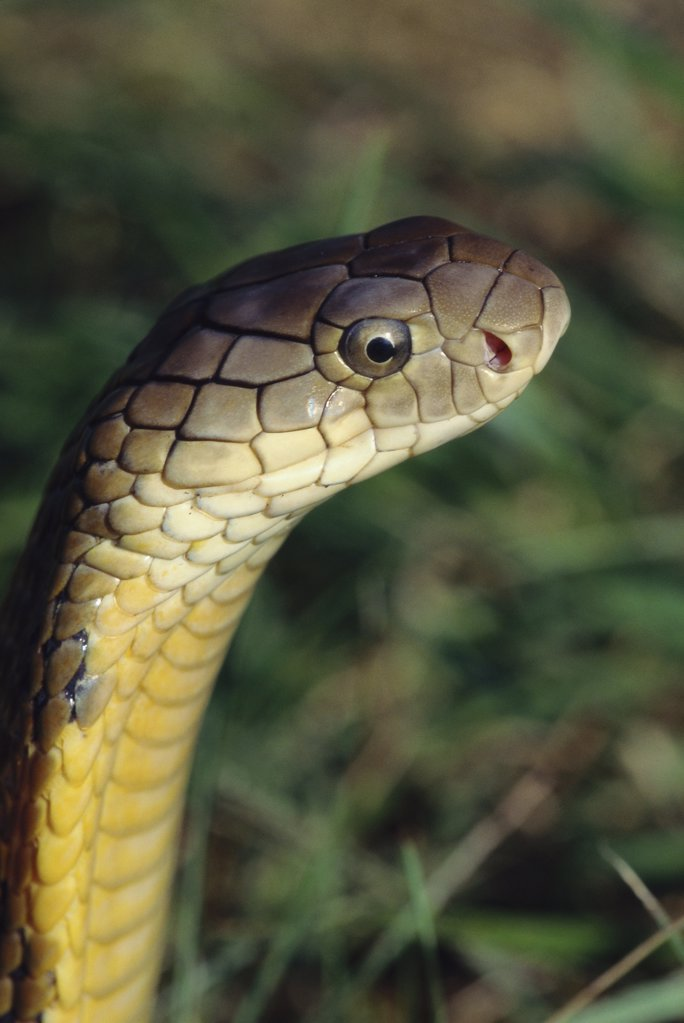 Stock Photo: 1439R-03389 King cobra
