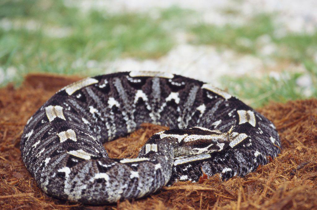 Gaboon viper : Stock Photo