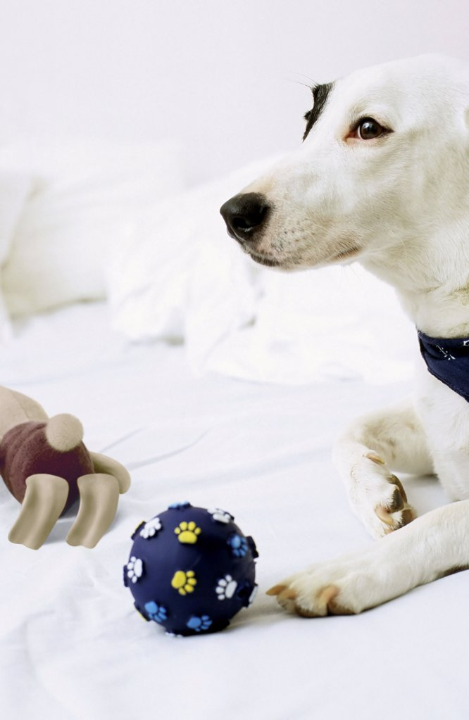 Dog sitting on bed with toys : Stock Photo