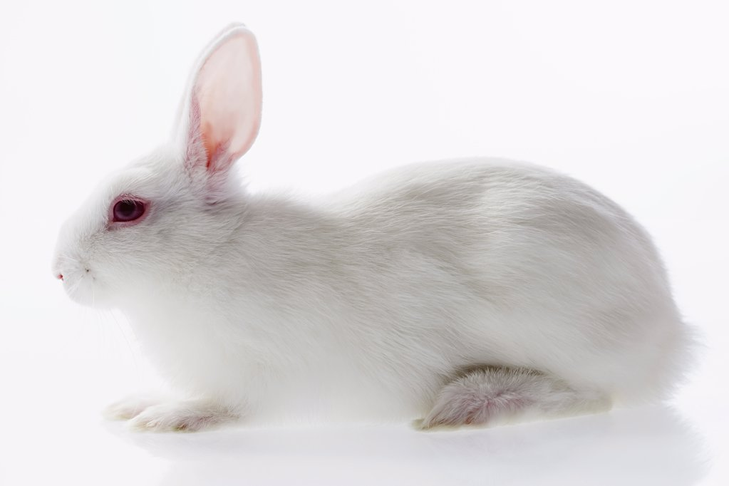 Stock Photo: 1439R-1016771 White rabbit