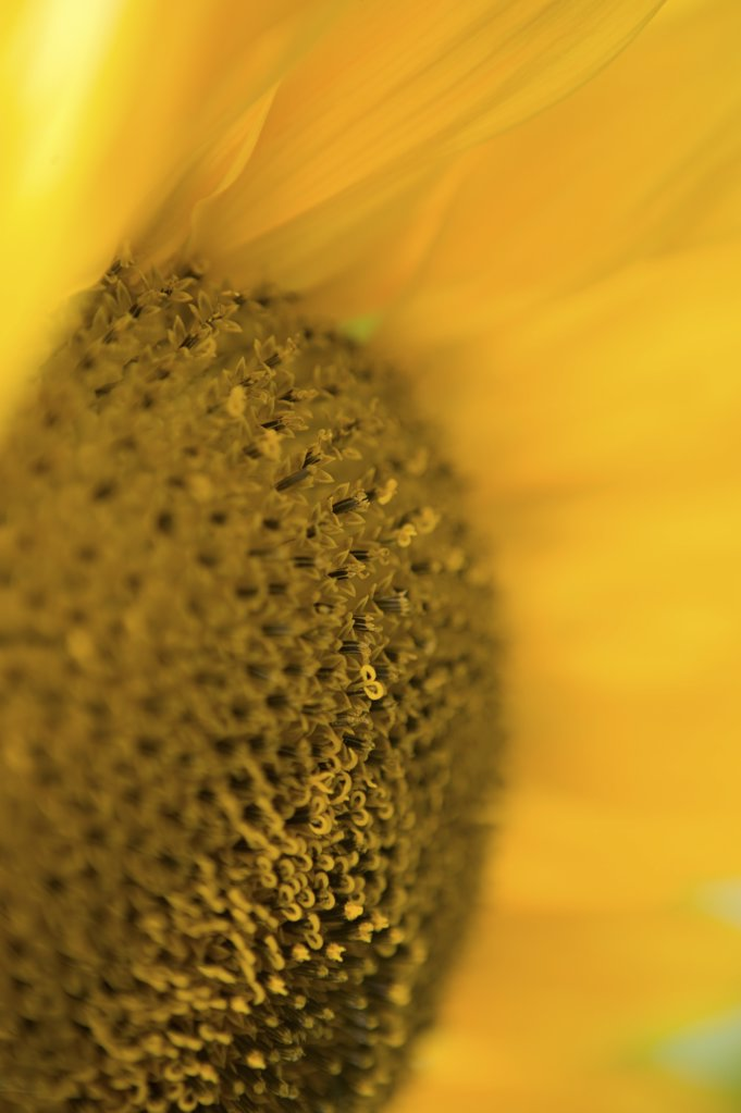 Stock Photo: 1439R-1017358 Detail of a sunflower