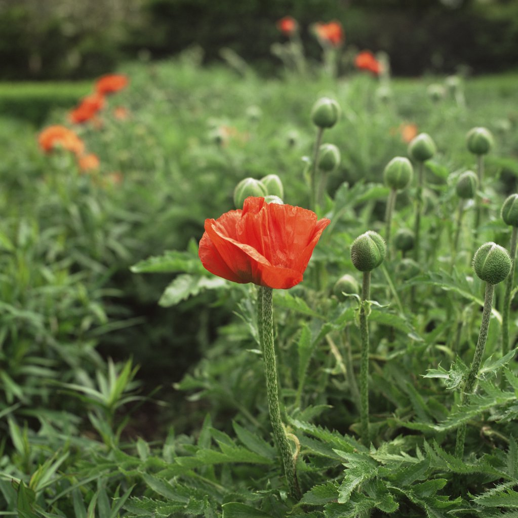 Poppy : Stock Photo