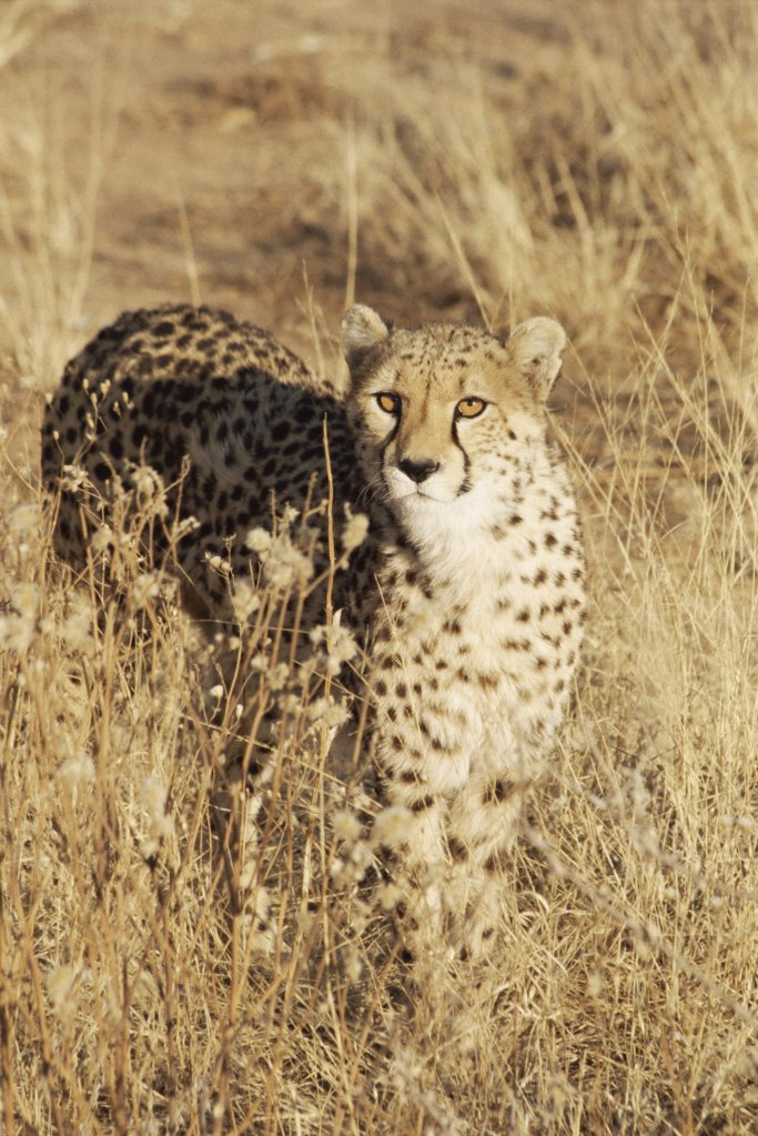 Stock Photo: 1439R-1028558 Cheetah