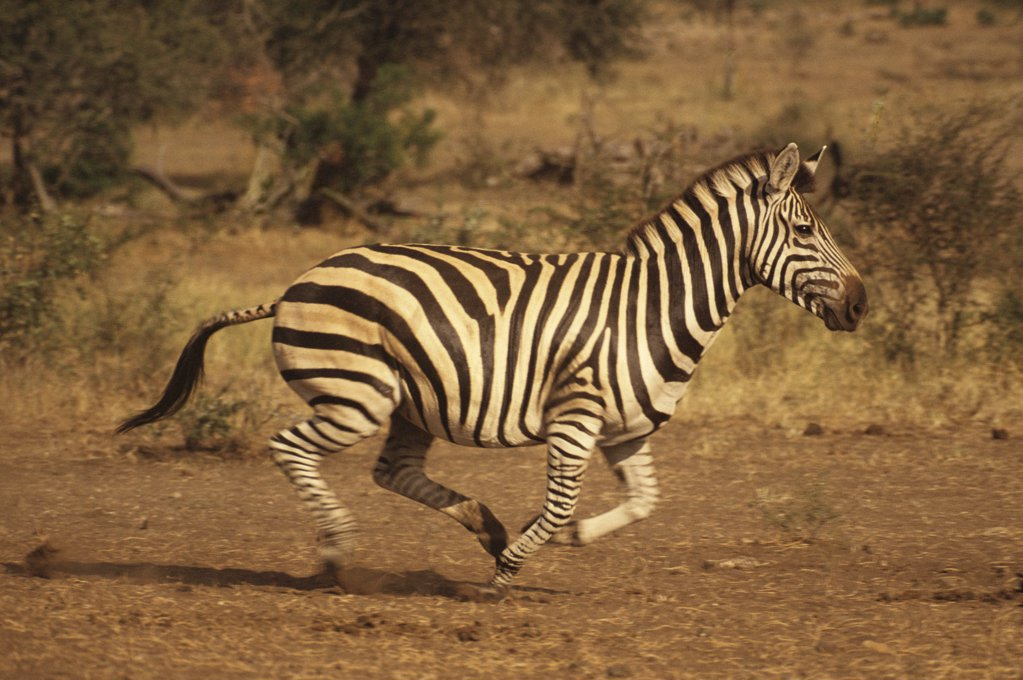 Stock Photo: 1439R-1036702 A zebra running
