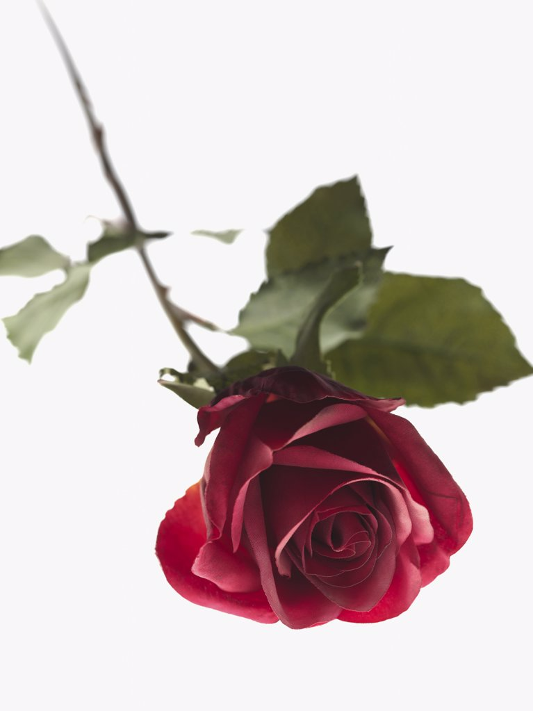 Stock Photo: 1439R-1051859 Discarded rose