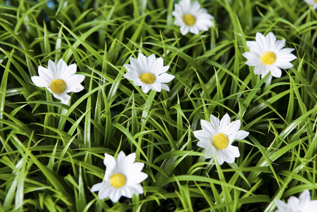 Daisies : Stock Photo
