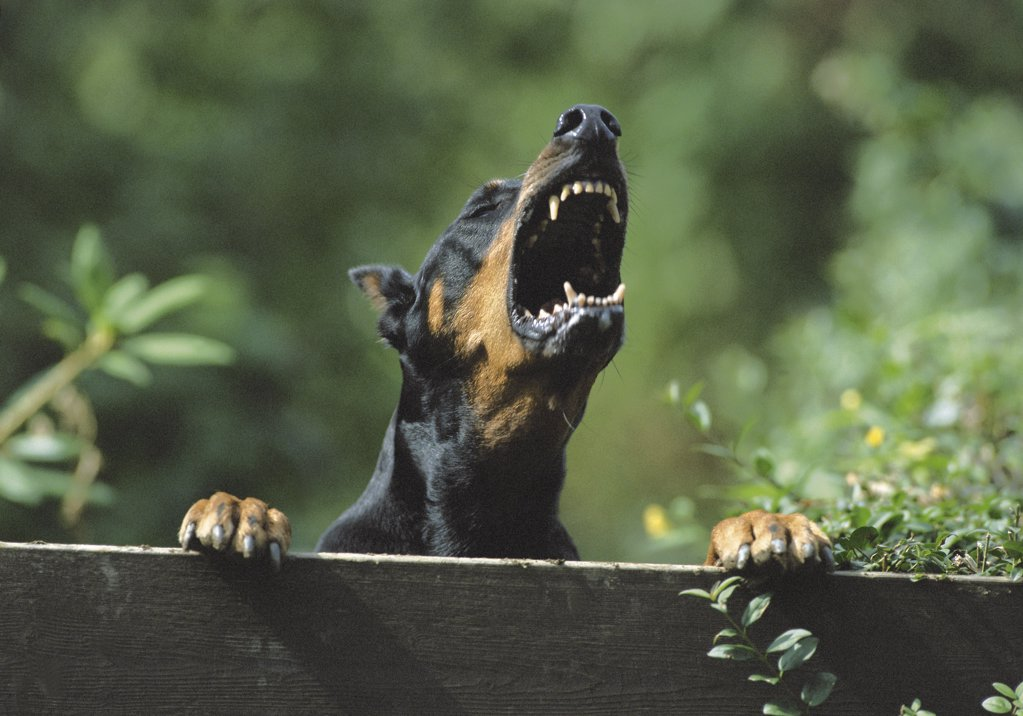 Stock Photo: 1439R-1074290 Barking doberman