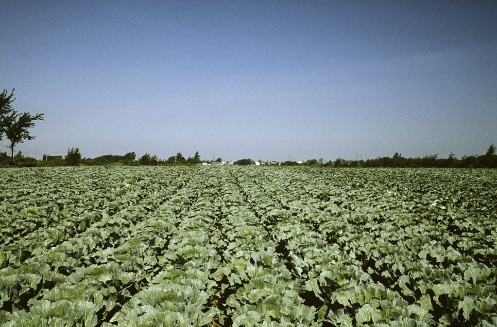 Stock Photo: 1439R-1074991 Field of cabbages