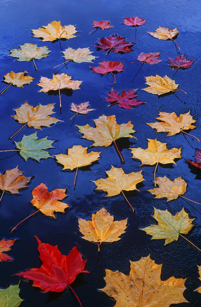Stock Photo: 1439R-1074992 Maple leaves on asphalt
