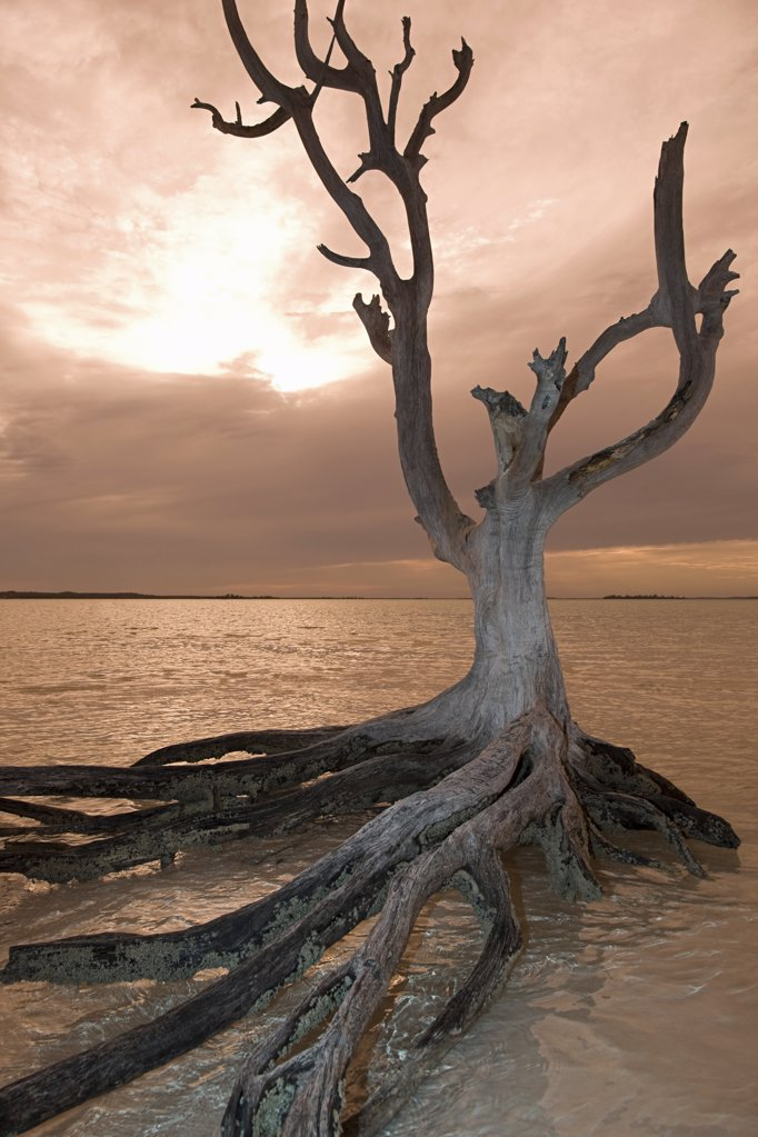 Stock Photo: 1439R-1081537 Dead tree on harbour island