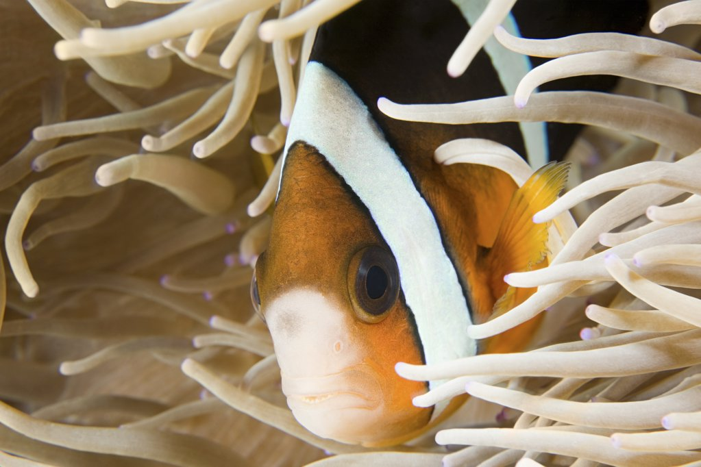 Stock Photo: 1439R-1095052 Fish and anemone