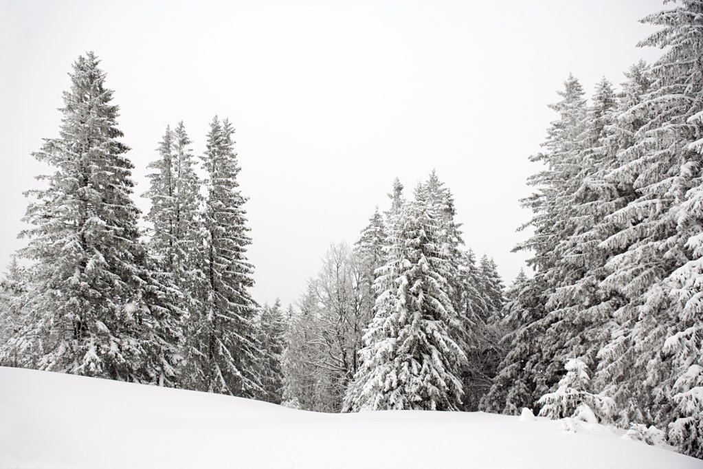 Fir trees covered in snow : Stock Photo