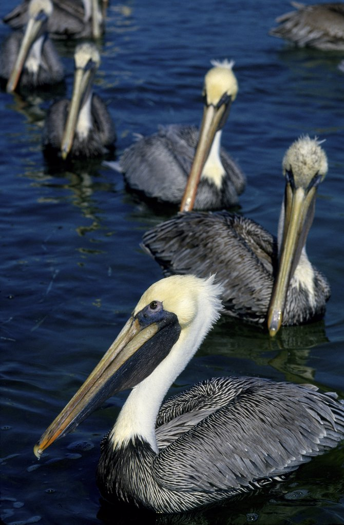 Pelicans on parade. : Stock Photo