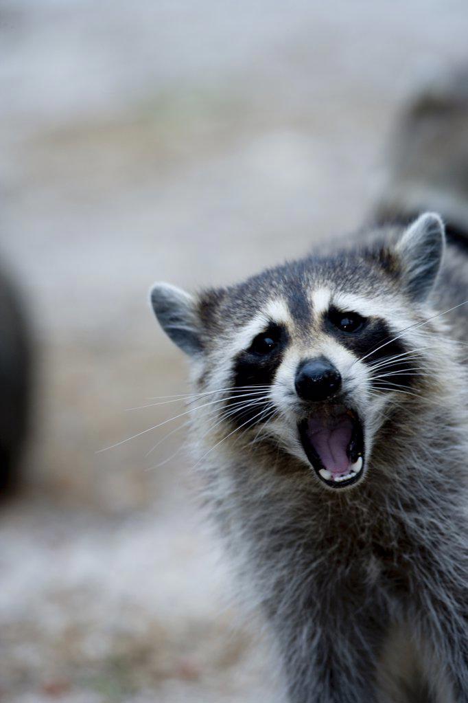 Stock Photo: 1439R-1106855 Raccoon behavior.