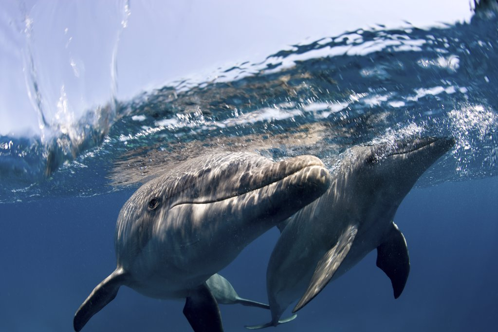 Stock Photo: 1439R-1106887 Atlantic bottlenose dolphin.