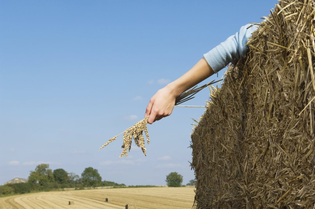 Person in field with wheat : Stock Photo