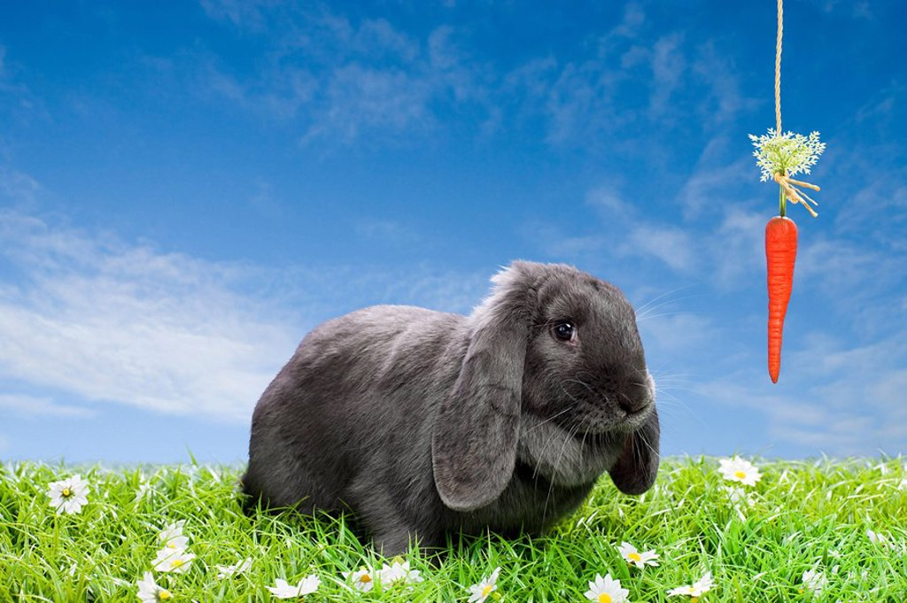 Stock Photo: 1439R-1123104 Rabbit with dangling carrot