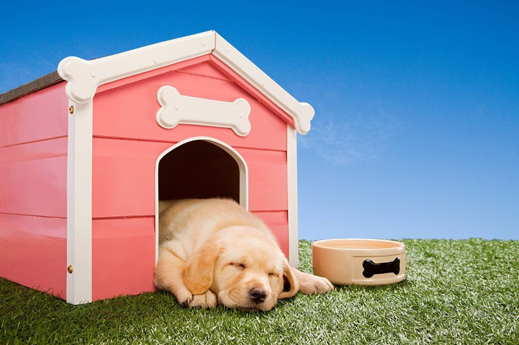 Stock Photo: 1439R-1123118 Labrador puppy asleep in kennel