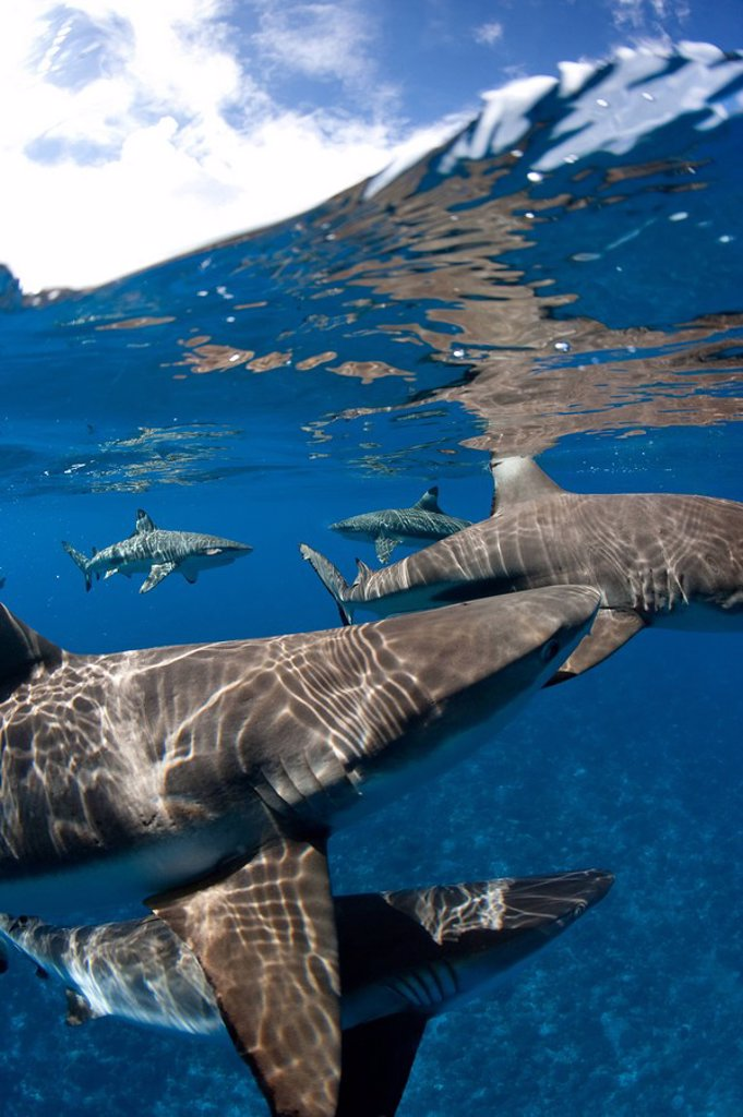 Stock Photo: 1439R-1126377 Blacktip reef sharks at surface.