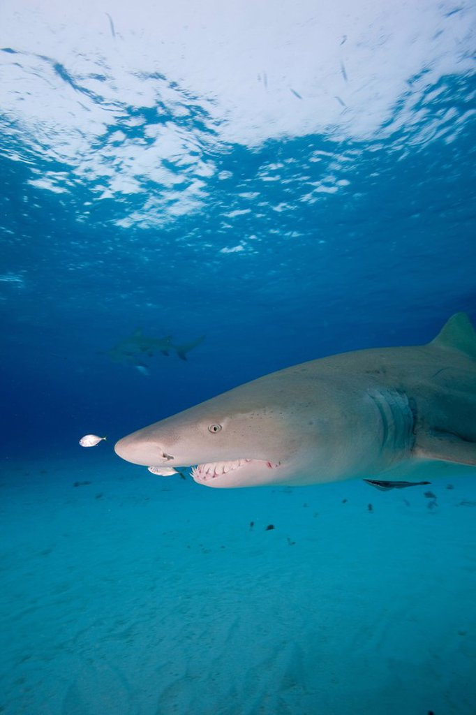 Lemon Shark : Stock Photo
