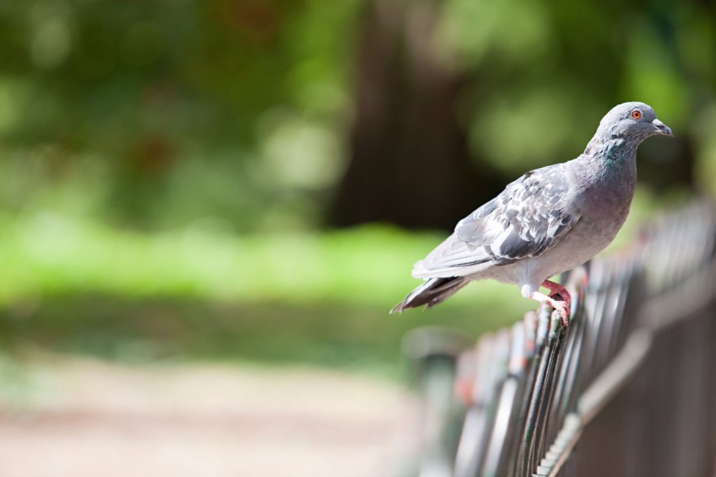 Pigeon perched on a fence : Stock Photo
