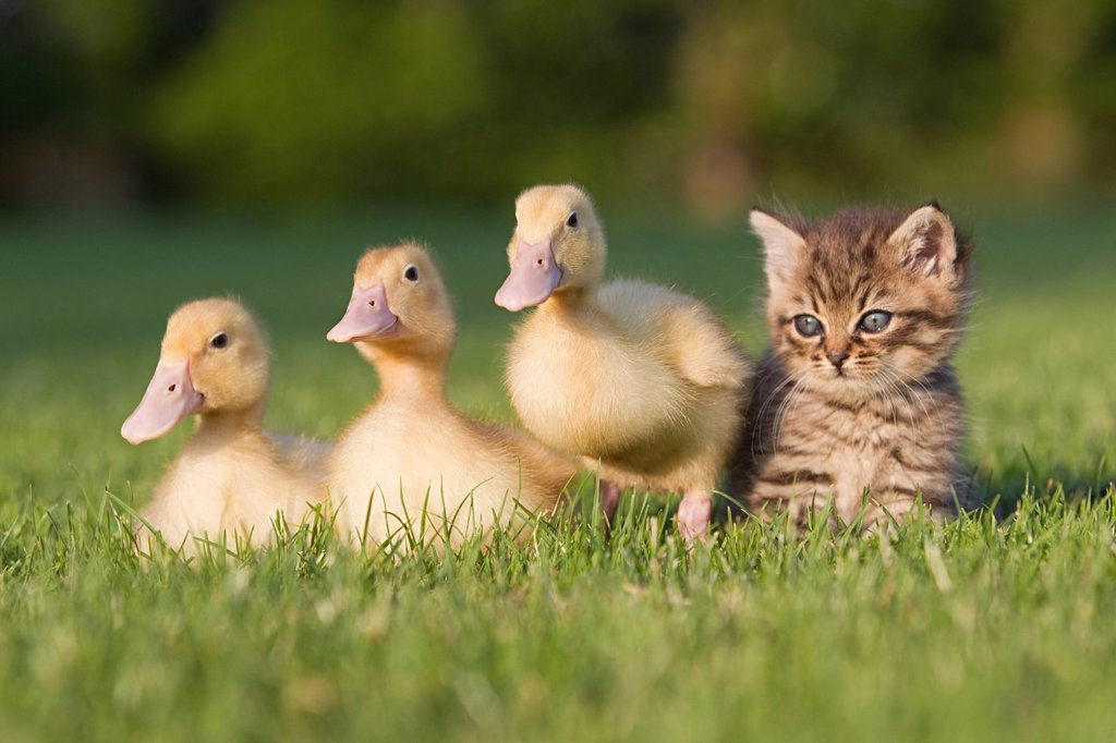 Stock Photo: 1439R-1131160 Three ducklings and kitten on grass
