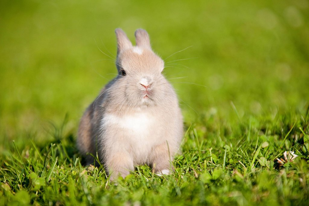 Stock Photo: 1439R-1131482 One rabbit sitting on grass